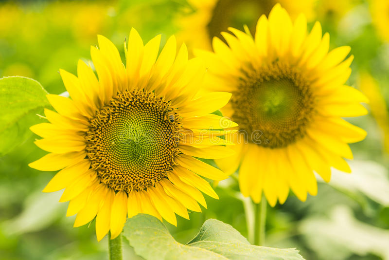 sunflower flowers stock image