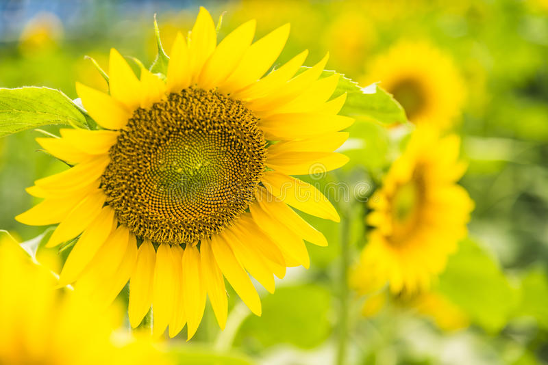 sunflower flowers stock photo