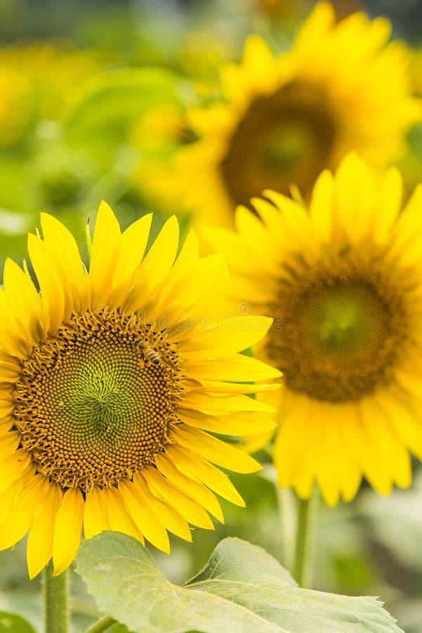 sunflower flowers royalty free stock photos