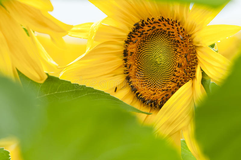 Download Sunflower in full bloom stock photo. Image of color, flora - 14822580