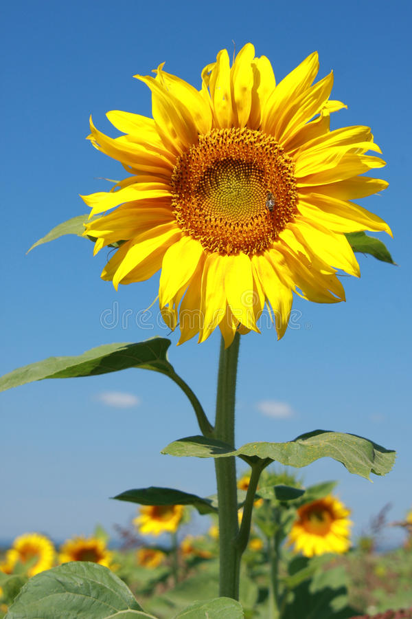 Download Sunflower In Full Bloom With A Bee Stock Image - Image: 16205991
