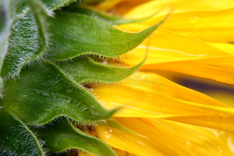 Sunflower in Garden stock photo
