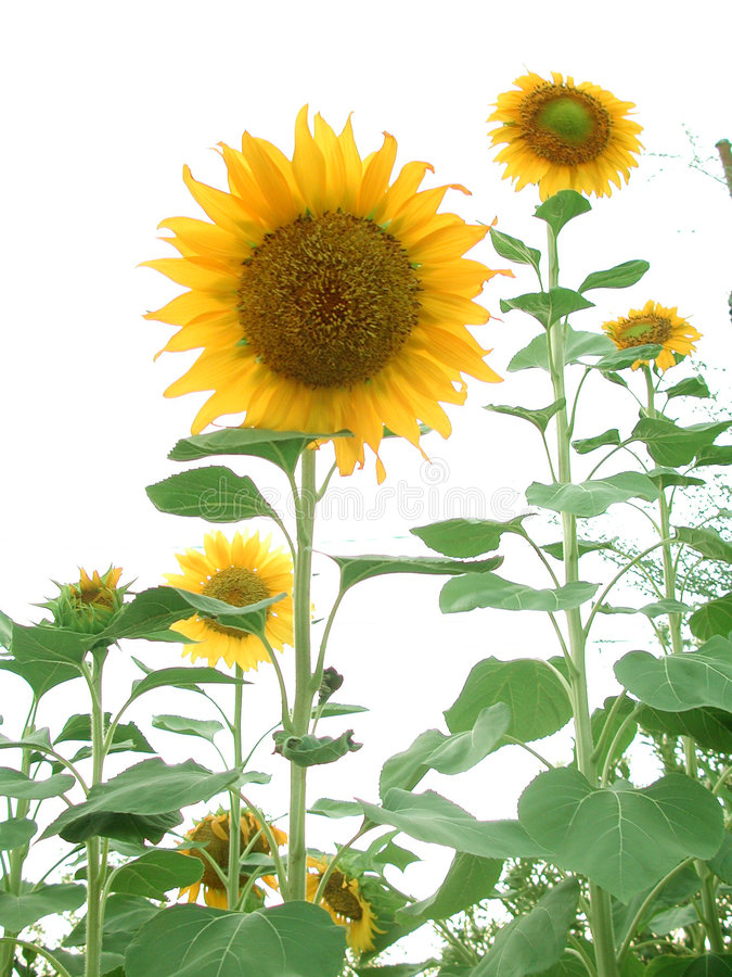 Sunflower Garden stock photo