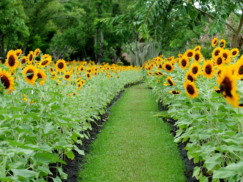 Sunflower in the garden beautiful background for wallpaper royalty free stock photos