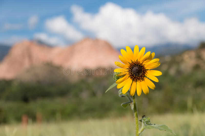 Sunflower in the Garden of the Gods royalty free stock photo