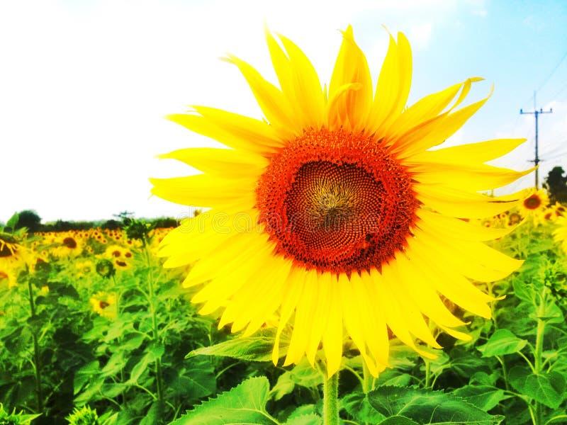 Sunflower Garden stock photos