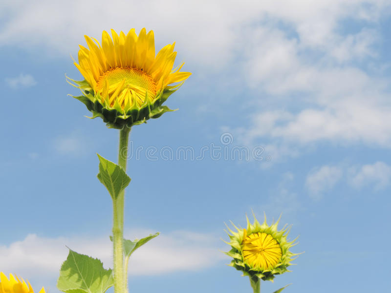 Sunflower in garden. royalty free stock image