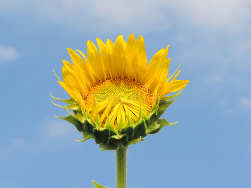 Sunflower in garden. royalty free stock photo