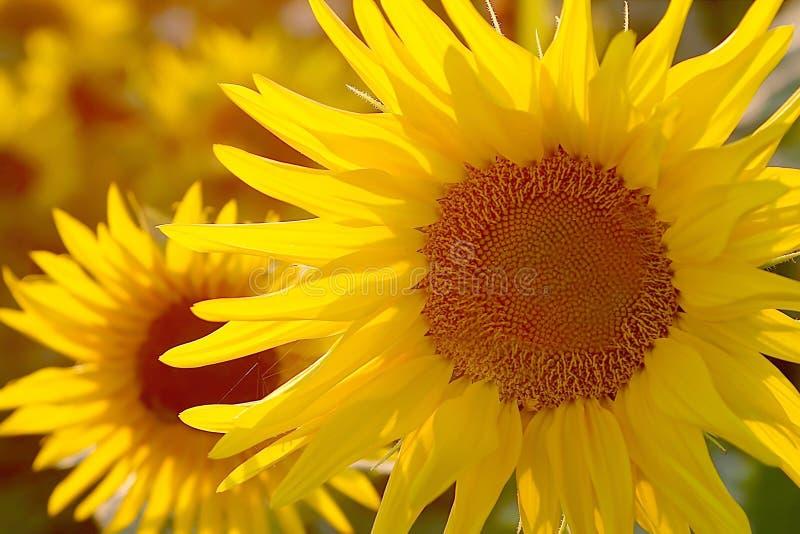 Sunflower in the golden light of the sun stock photography