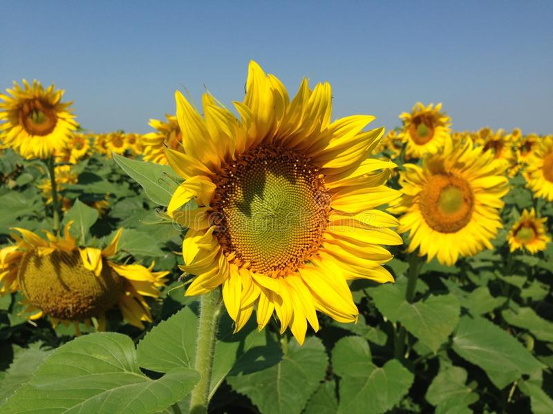 Sunflower  with golden petals.. Green leaves as a background royalty free stock photo