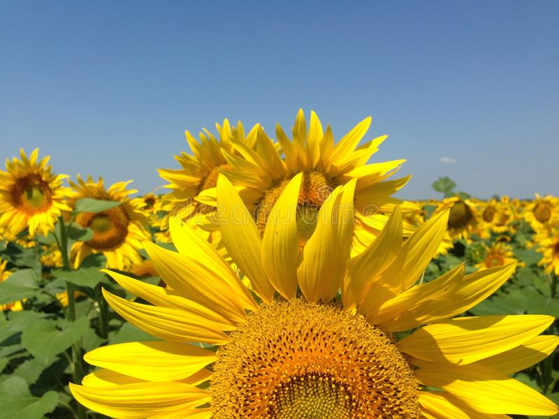 Sunflower  with golden petals. Green leaves as a background royalty free stock image