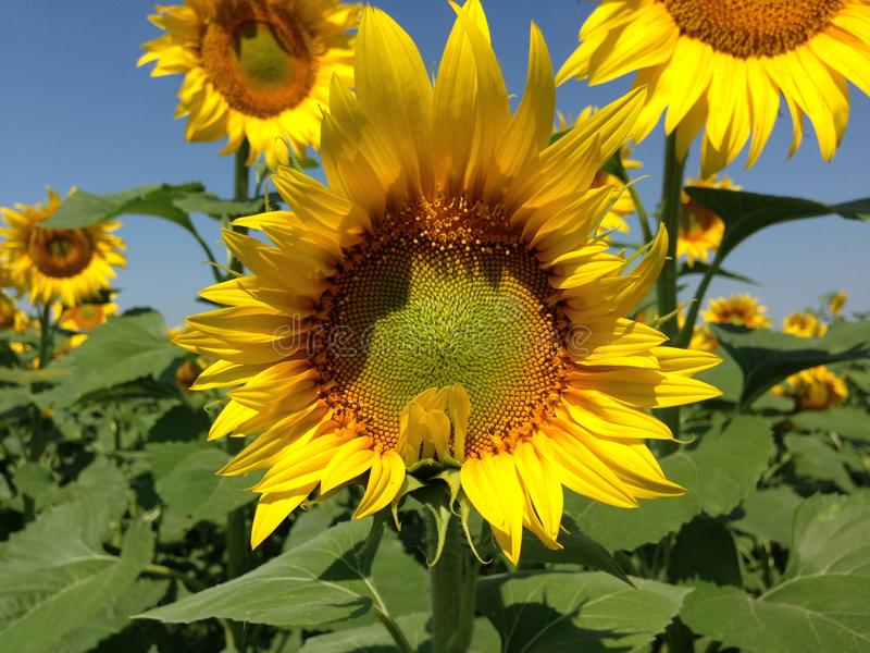 Sunflower  with golden petals. Green leaves as a background royalty free stock photography