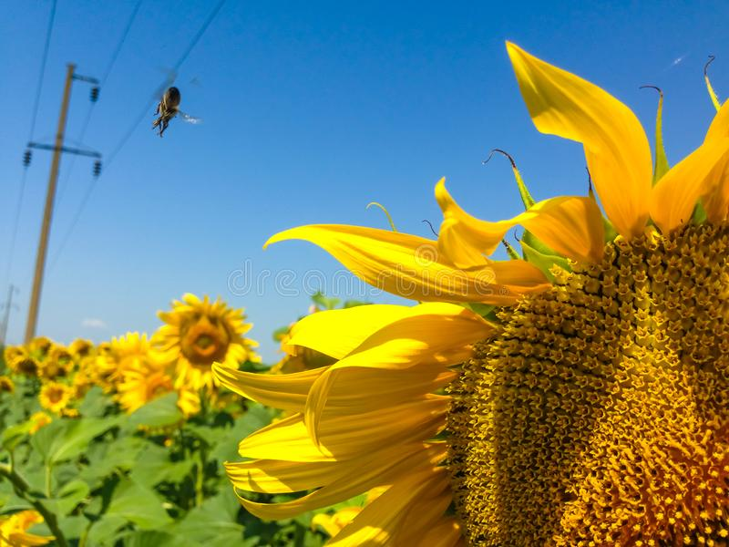 Sunflower  with golden petals. Bee flying away from a flower. Green leaves as a background stock photo