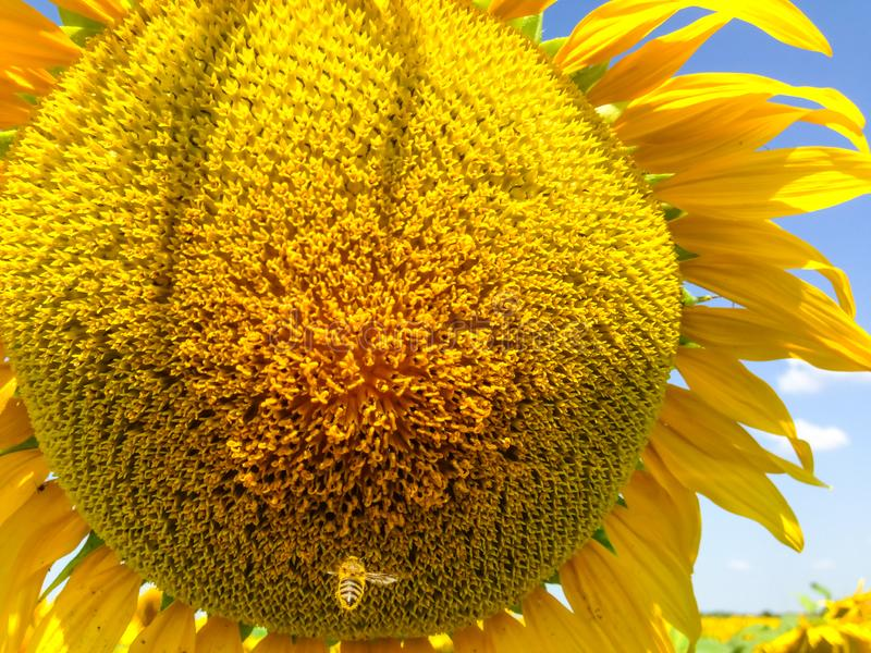 Sunflower  with golden petals. Bee flying away from a flower. Green leaves as a background royalty free stock image