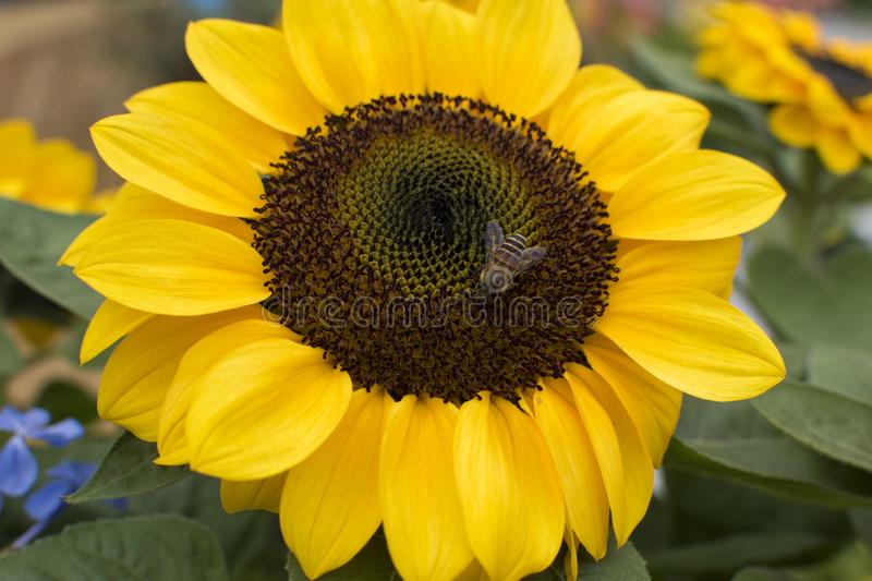 Sunflower in great form and yellow ... With a little Bee stock photos