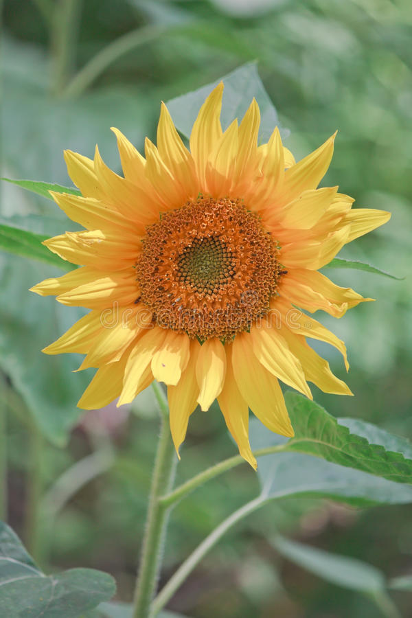 Sunflower on the green natural floral background