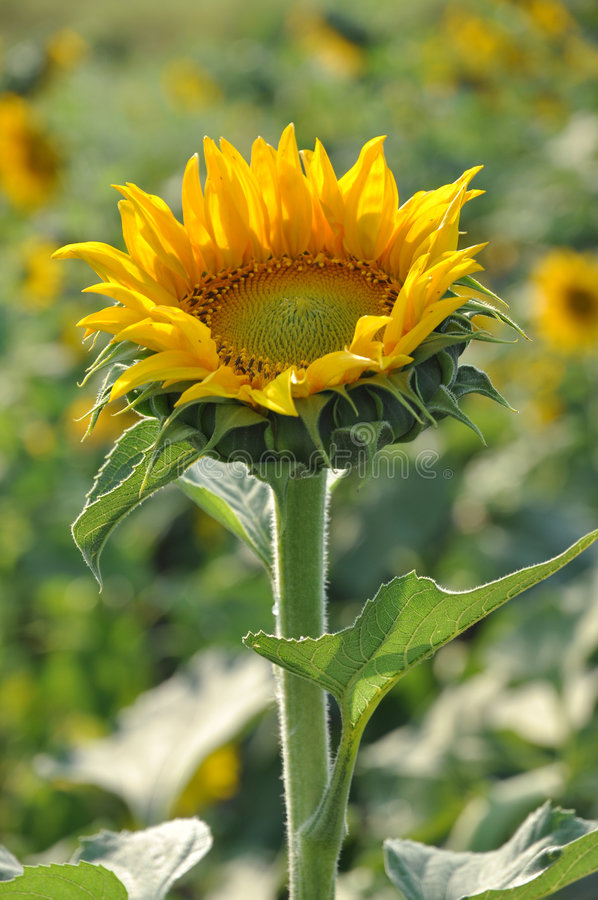 Free Sunflower Grow Up Stock Images - 8836324