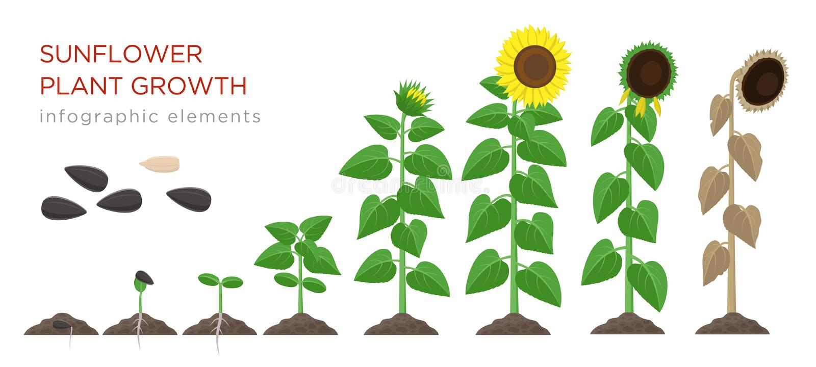 Sunflower growing process vector illustration flat design. Planting process of sunflowers. Growth stages from seed to vector illustration