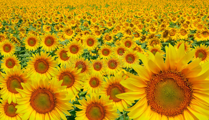 Download Sunflower stock image. Image of leaves, harvest, flower - 35324127