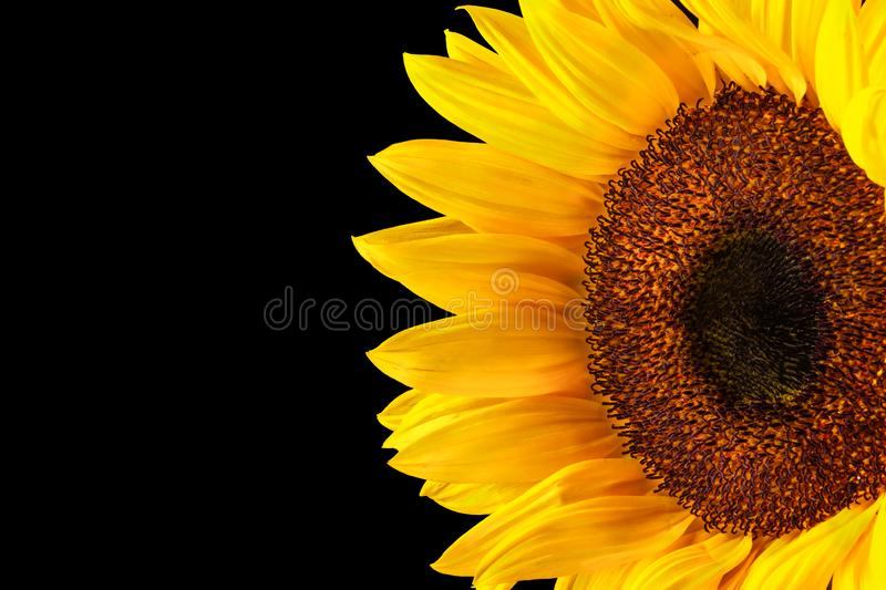 Sunflower half side right on black stock photography