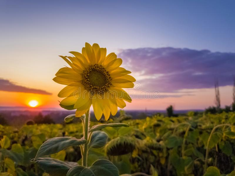 Sunflower harvest field over sunset sky background. Single late flowering plant among the crop of sunflower in a golden autumn. Evening at farm royalty free stock photo