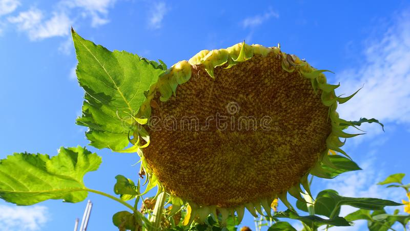 Sunflower head on blue sky with clouds background close up. royalty free stock photography