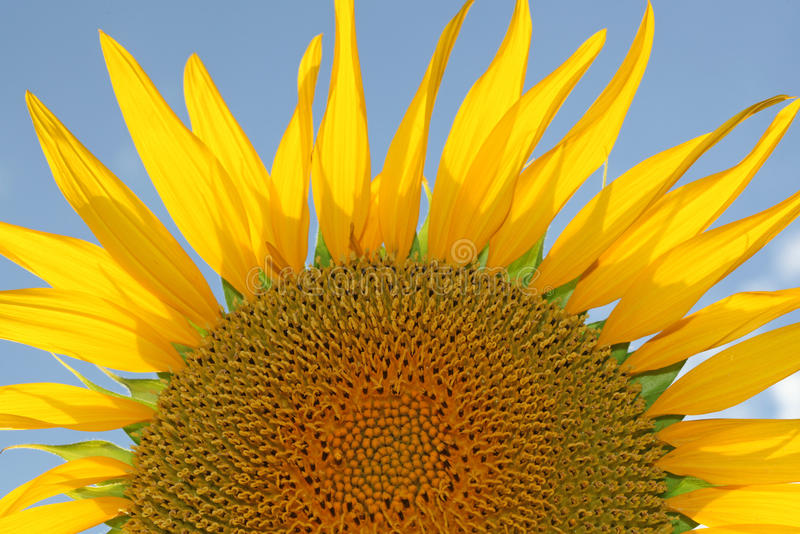 Sunflower head with spikey petals in summer royalty free stock images