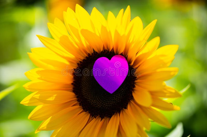 Sunflower with heart, greeting card. Cards royalty free stock image