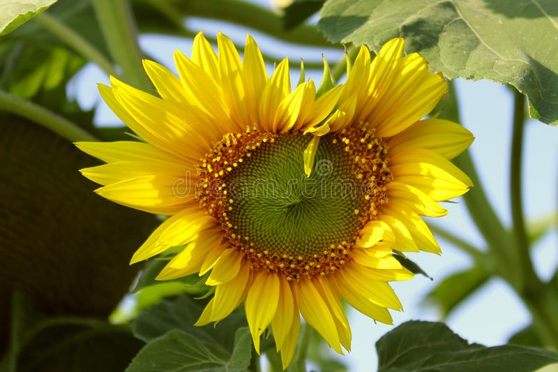 Sunflower in heart shape. Yellow flower over green leaves background. stock image