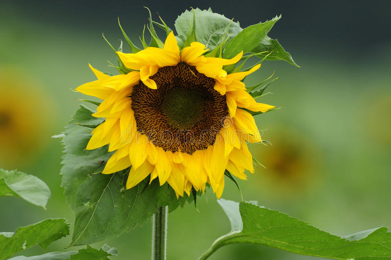 Sunflower (Helianthus annuus) stock photography