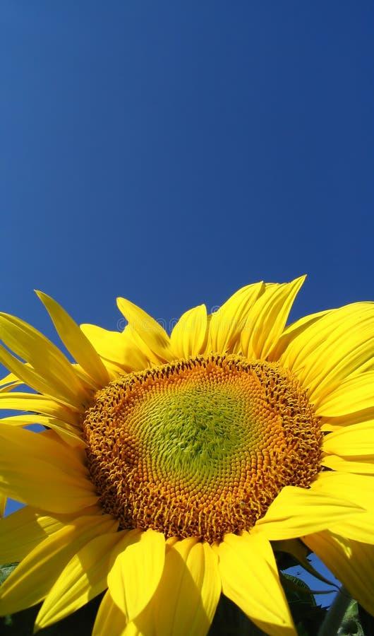 Free Sunflower (helianthus Annuus) Royalty Free Stock Photos - 1820428