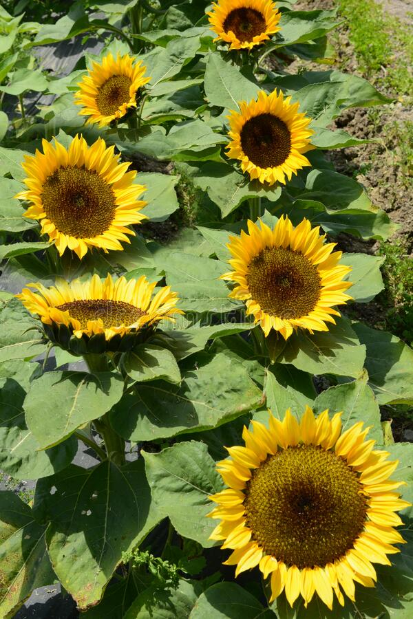 Free Sunflower, Helianthus Annuus, At A Flower Farm On A Bright Sunny Day Royalty Free Stock Images - 218347959