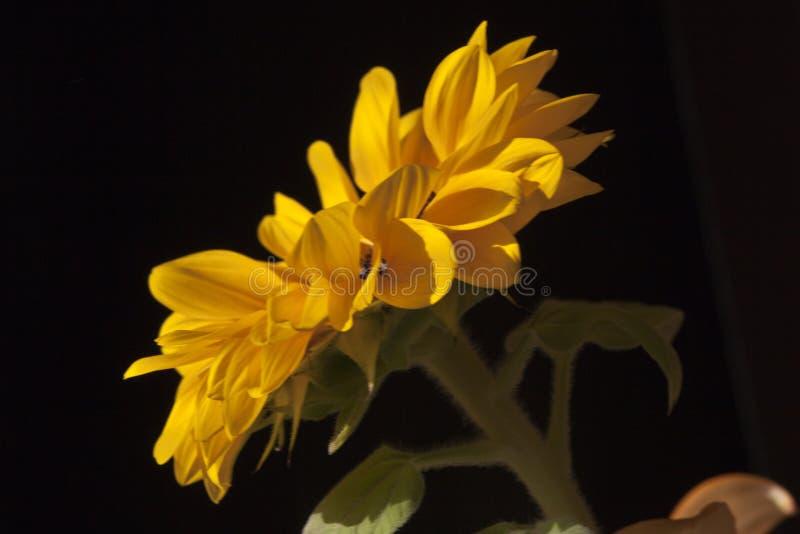Sunflower-Helianthus annuus in a big plan. Sunflower-Helianthus annuus in closeup. Yellow flower stock photos