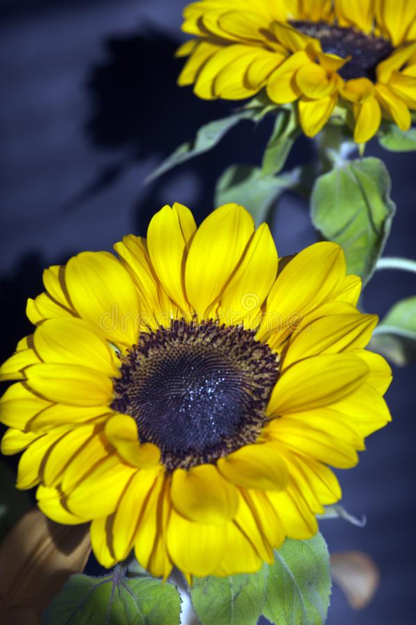 Sunflower-Helianthus annuus in a big plan. Sunflower-Helianthus annuus in closeup. Yellow flower royalty free stock photo