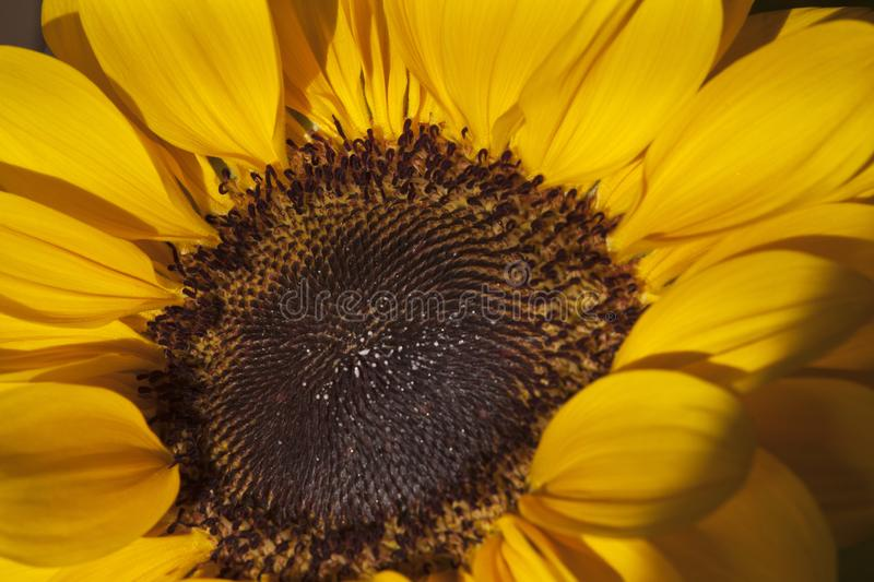 Sunflower-Helianthus annuus in a big plan. Sunflower-Helianthus annuus in closeup. Yellow flower stock images