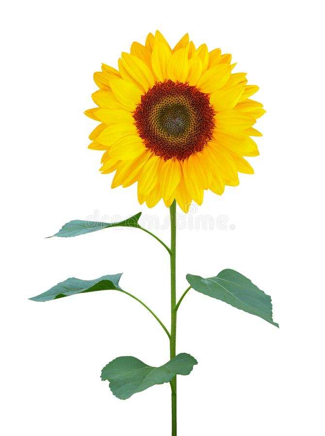 Sunflower Helianthus annuus with green trunk and leaves isolated on white background, path royalty free stock photography