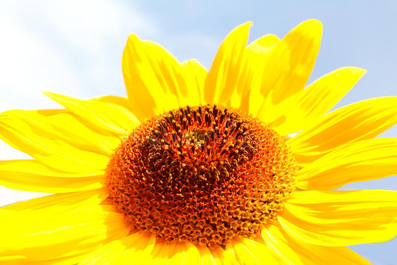 Download Sunflower (Helianthus Annuus) Stock Photo - Image: 29813574