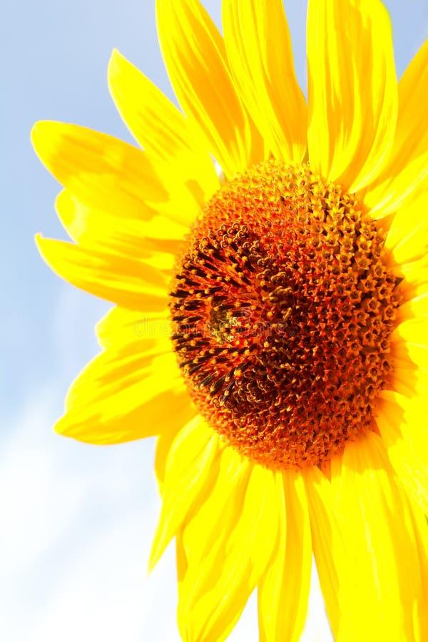 Download Sunflower (Helianthus Annuus) Stock Photo - Image: 29813674