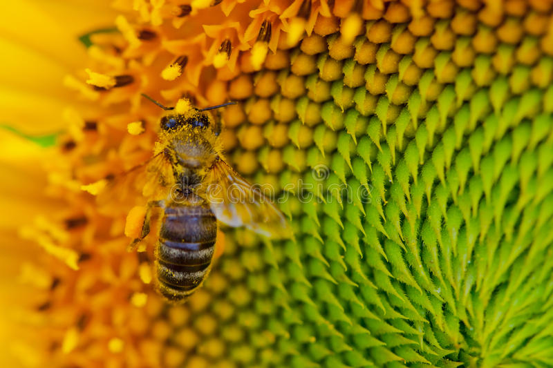 Download Sunflower with a honey bee stock image. Image of insect - 26740789
