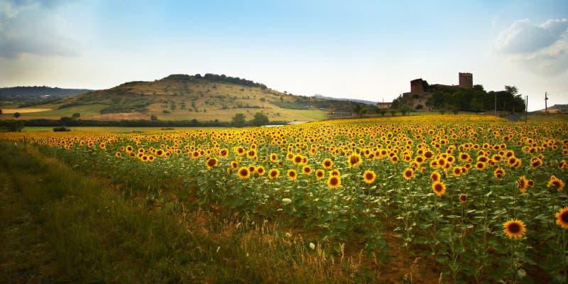 Sunflower II stock photo