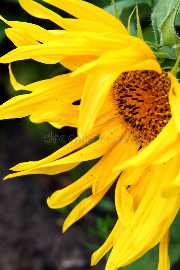 Free Sunflower In Garden Royalty Free Stock Photography - 2994117