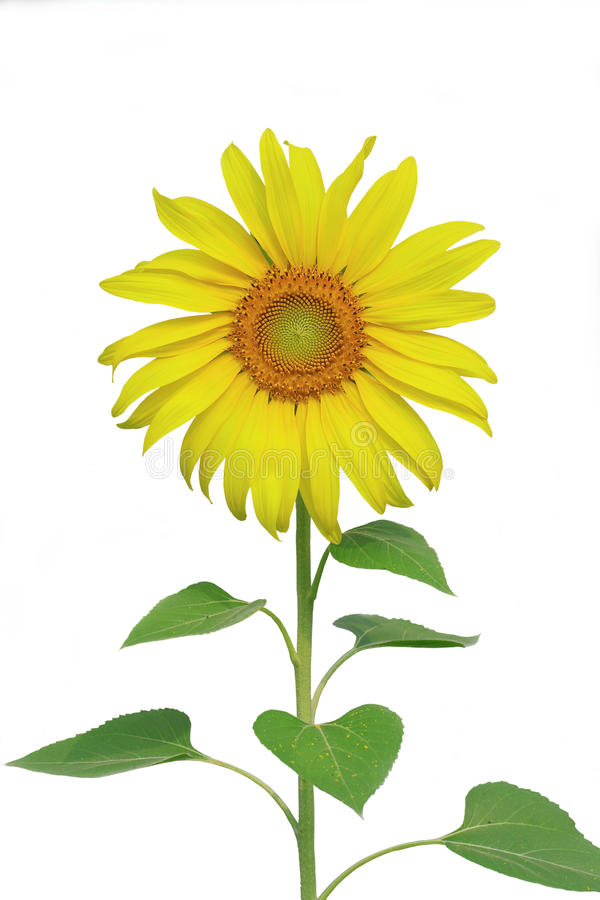 Sunflower isolate stock photos