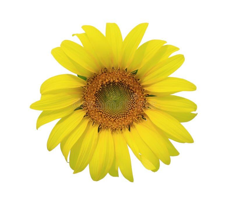 Sunflower isolate stock image