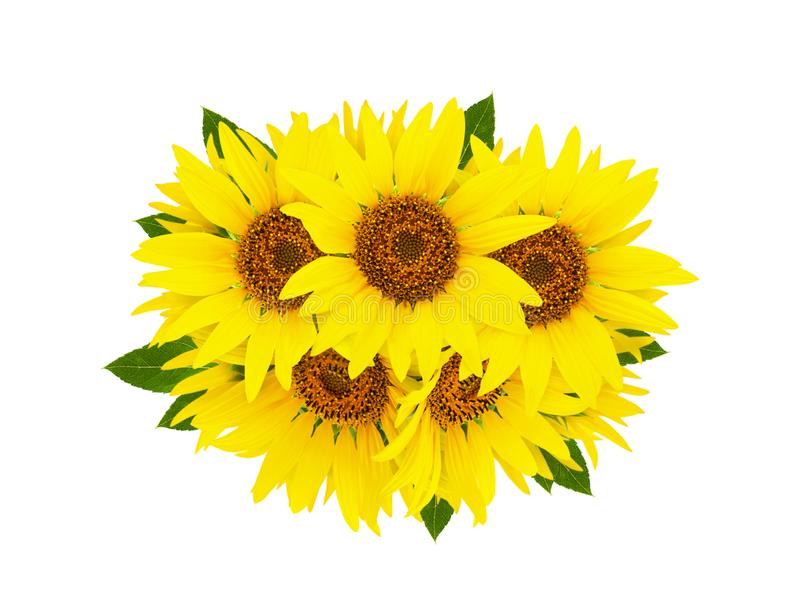 Group of yellow bright beautiful sunflower flowers collage isolated on white background with green leaves royalty free stock image