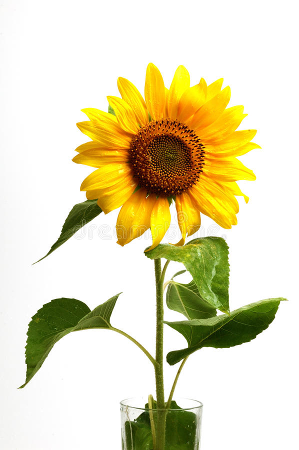 Free Sunflower,isolated On White Royalty Free Stock Photography - 15473357