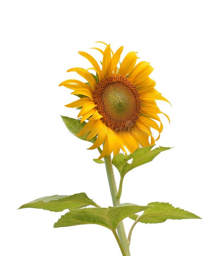 Sunflower isolated on white background royalty free stock image