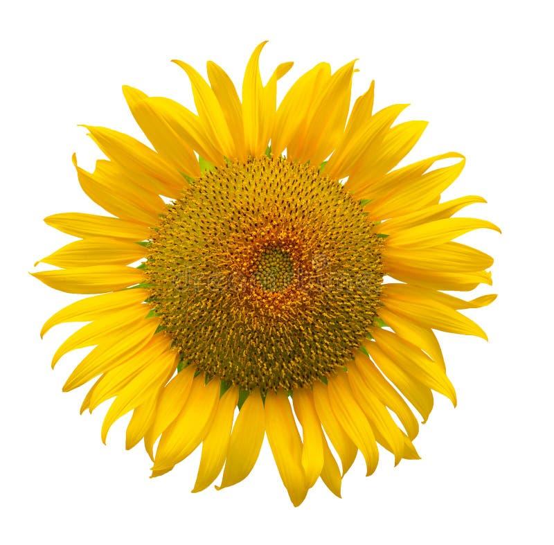 Sunflower isolated on white background stock photos