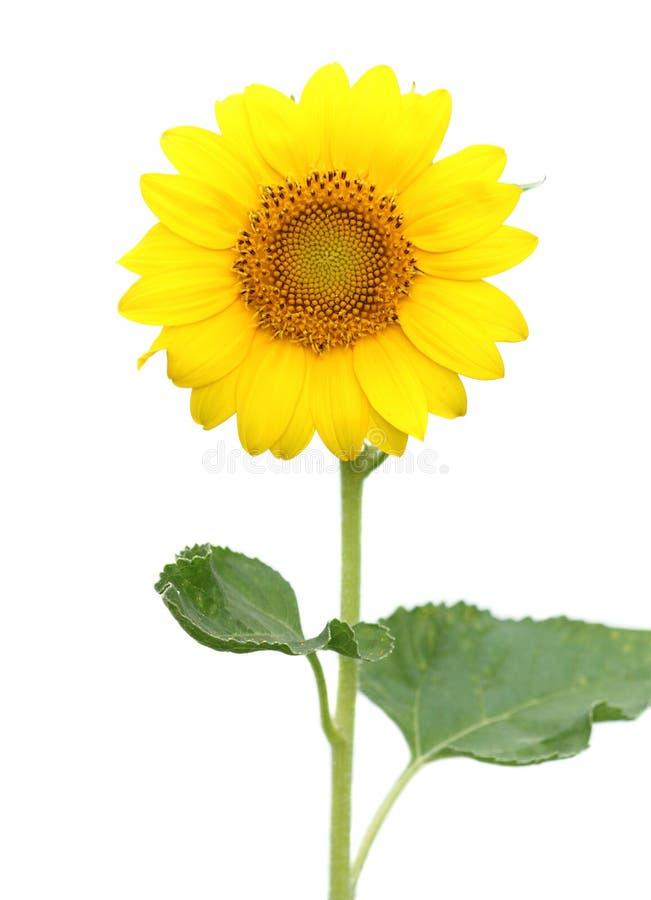 Sunflower isolated on white. Background royalty free stock image