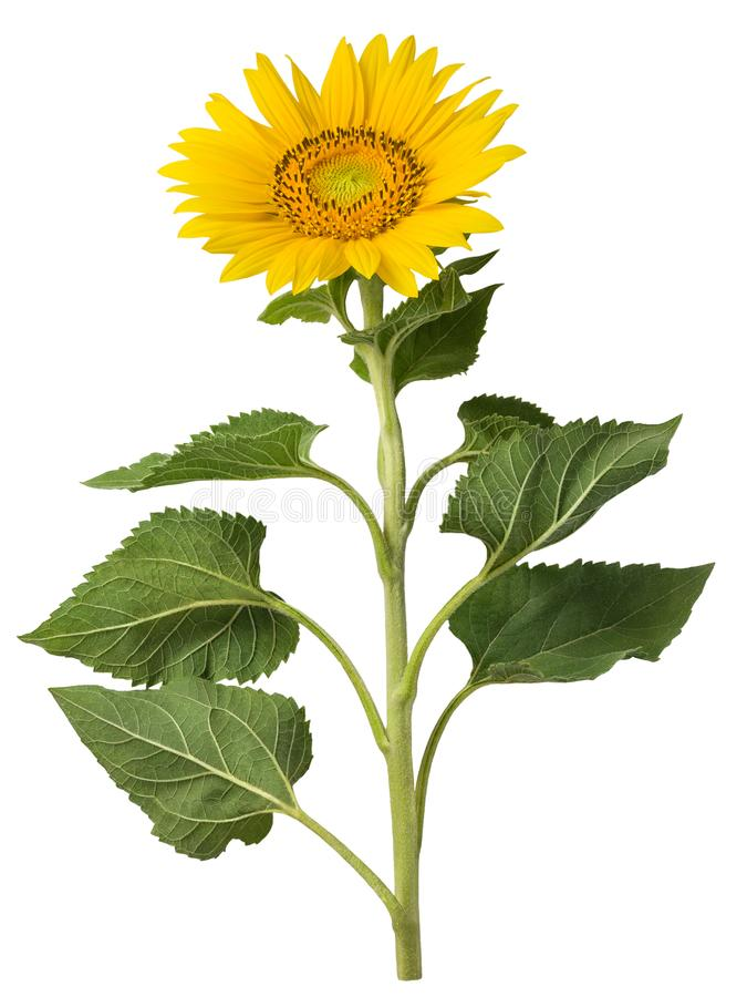 Sunflower isolated on a white background. stock photo
