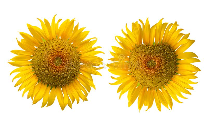 Sunflower isolated on white background stock images